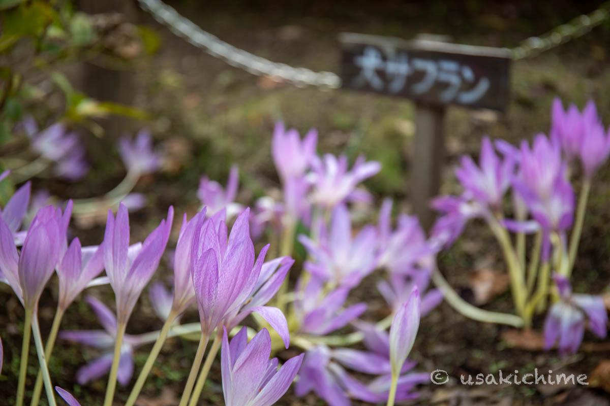 大宮花の丘農林公苑「和風園地」の犬サフラン