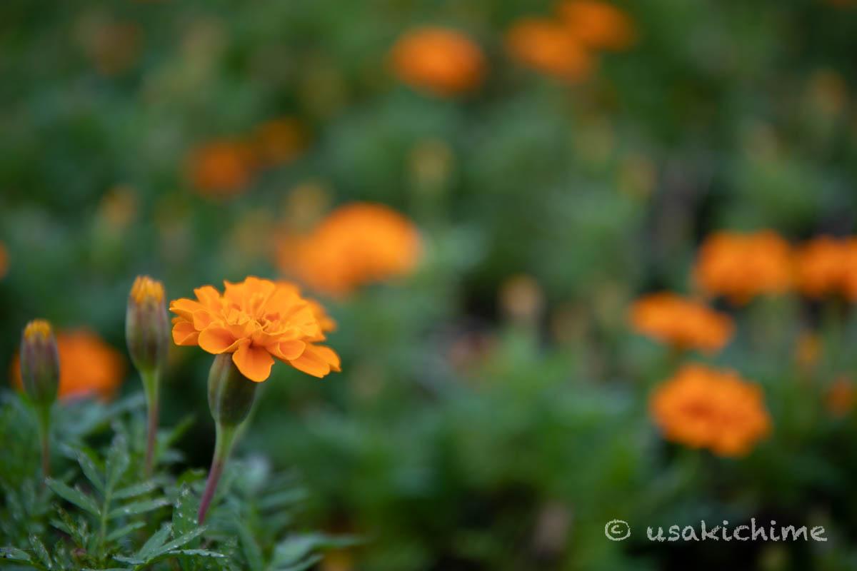 大宮花の丘農林公苑「マリーゴールド」