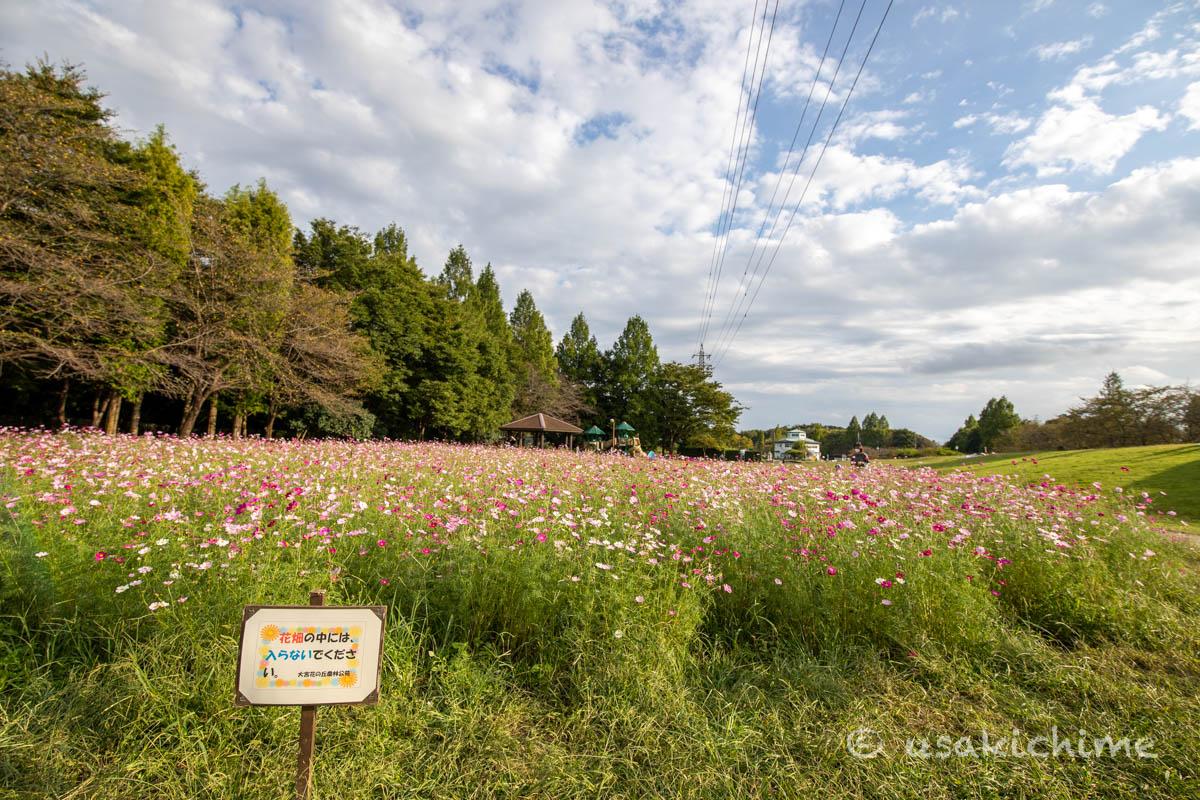 大宮花の丘農林公苑「お花畑(コスモス)」