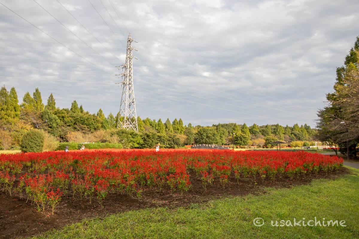 大宮花の丘農林公苑「お花畑(サルビア)」