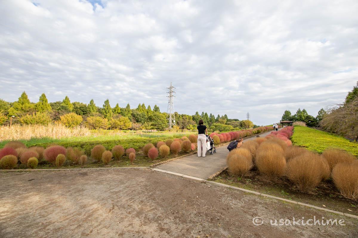 大宮花の丘農林公苑「花の丘(コキア)」