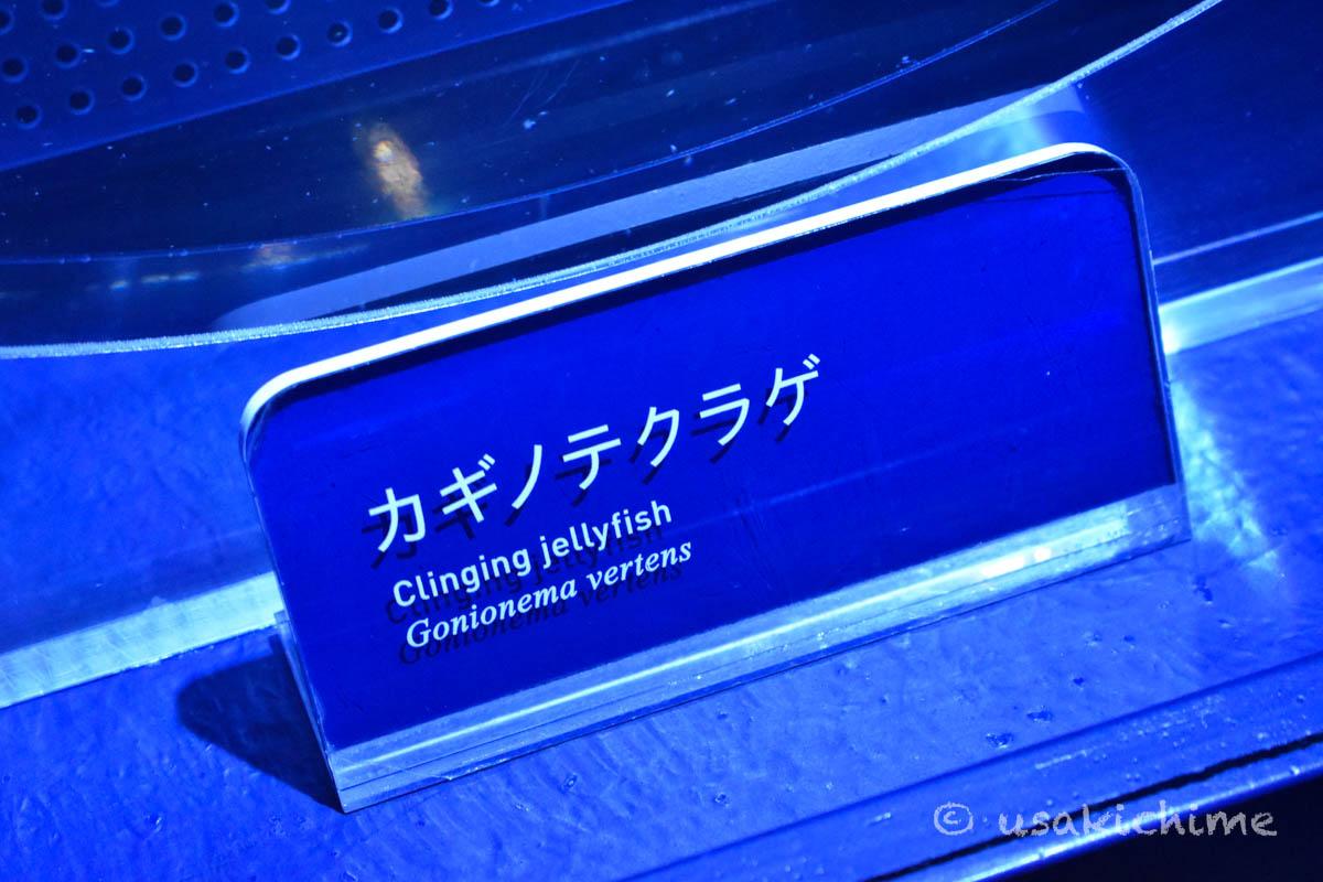 カギノテクラゲ@すみだ水族館 クラゲエリア