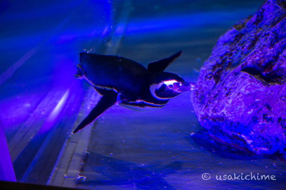 マゼランペンギン@すみだ水族館 ペンギンエリア