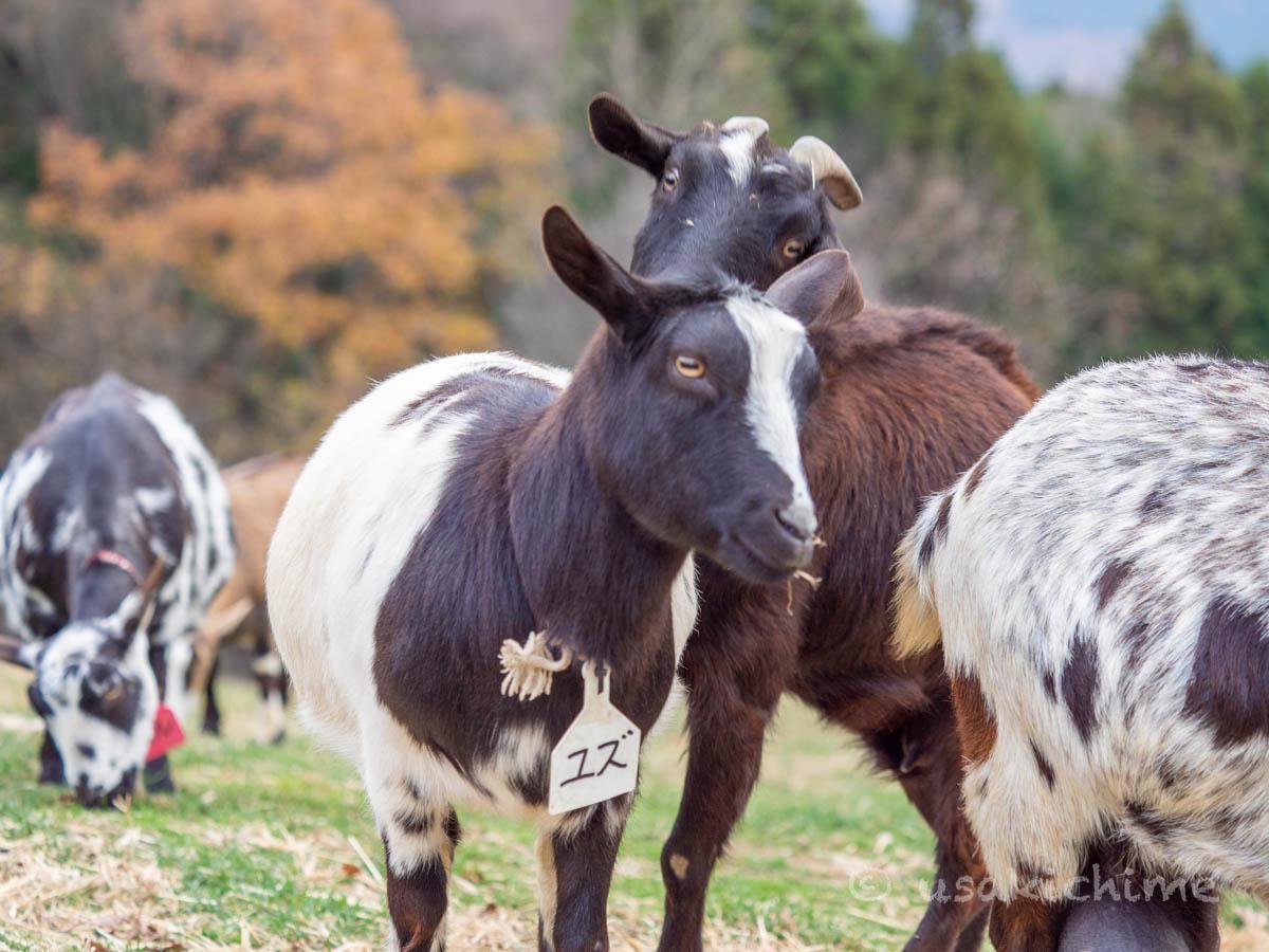 ユズ(彩の国ふれあい牧場で暮らす山羊) 2020年12月3日撮影