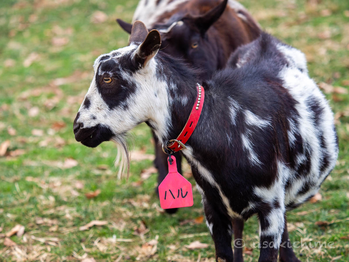 ハル(彩の国ふれあい牧場で暮らす山羊) 2020年12月3日撮影