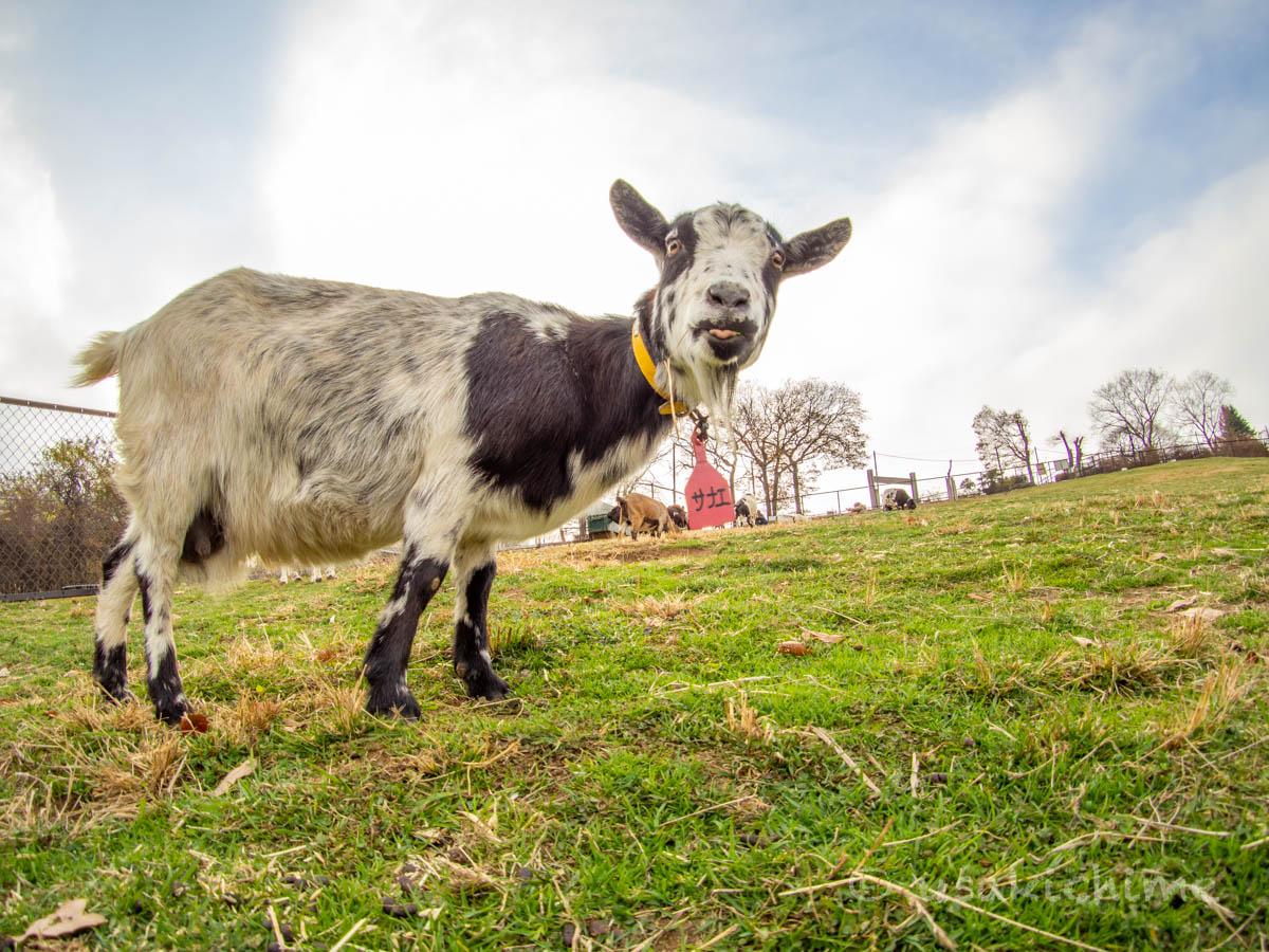 サナエ(彩の国ふれあい牧場で暮らす山羊) 2020年12月3日撮影