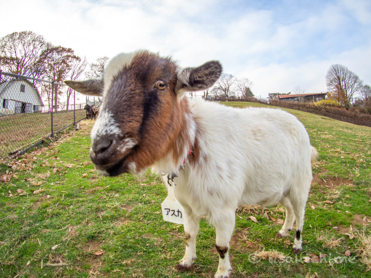 アスカ(彩の国ふれあい牧場で暮らす山羊) 2020年12月3日撮影