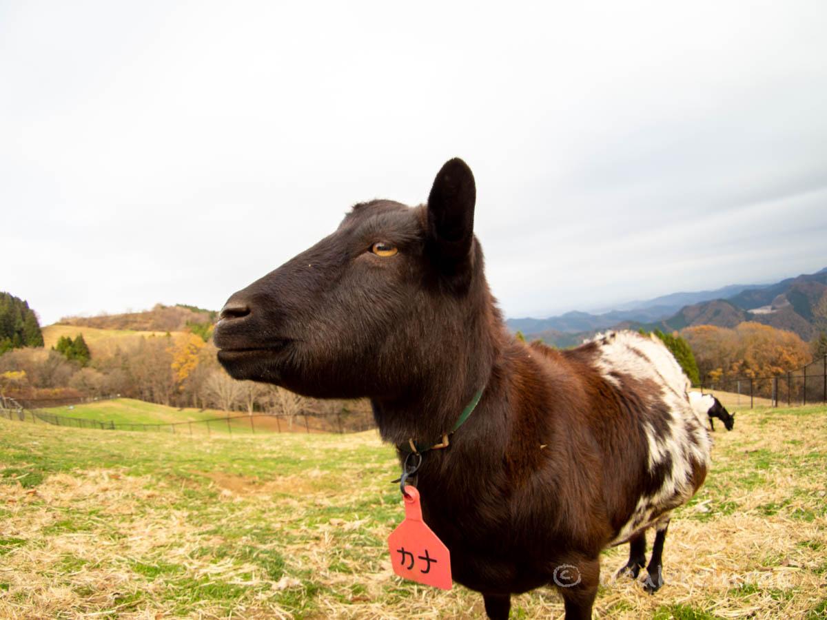 カナ(彩の国ふれあい牧場で暮らす山羊) 2020年12月3日撮影