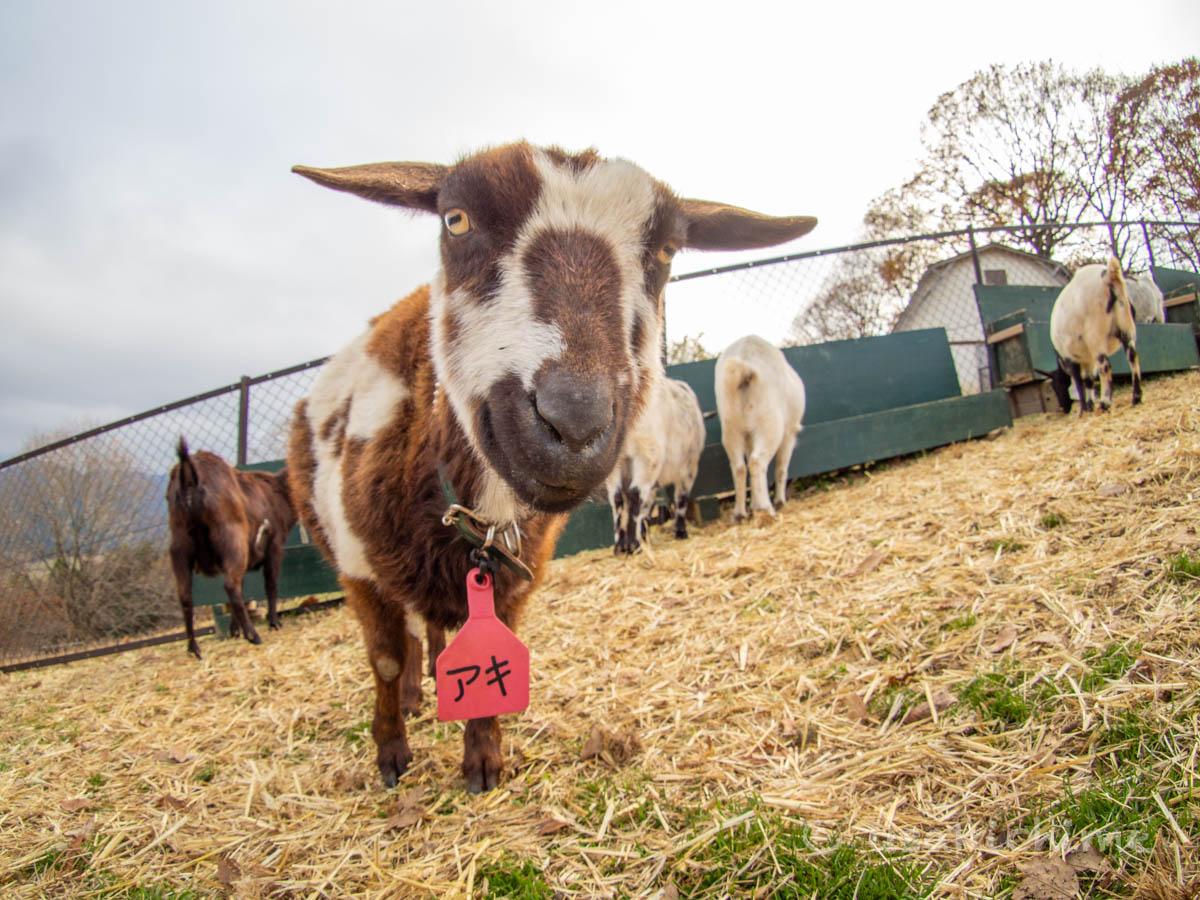 アキ(彩の国ふれあい牧場で暮らす山羊) 2020年12月3日撮影